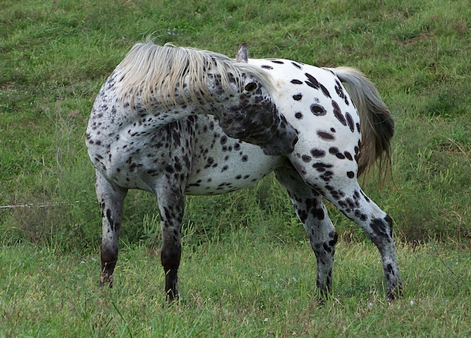 Appaloosa Mares at Palisades Appaloosas
